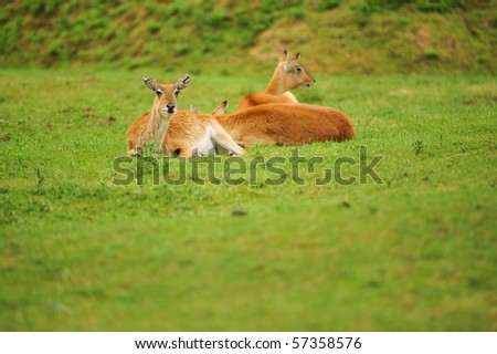 Red Lechwe laying down in a field selective focus and copy space.