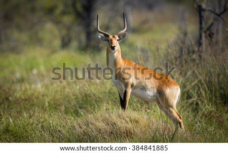 Red Lechwe standing alert in Moremi Reserve in Botswana
