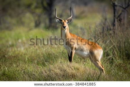 Red Lechwe standing alert in Moremi Reserve in Botswana - stock photo
