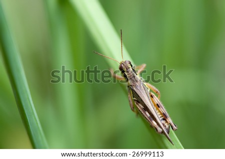 Red-Legged Grasshopper standing on a blade of grass. Background is nicely out of focus.
