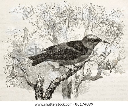 Red-legged Honeycreeper old illustration (Cyanerpes cyaneus). Created by Kretschmer, published on Merveilles de la Nature, Bailliere et fils, Paris, ca. 1878 - stock photo