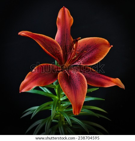 red lilly flower on a black background with ray light - stock photo