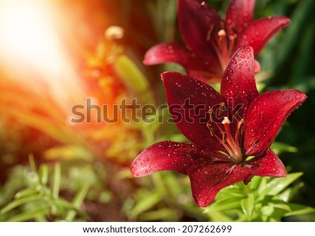 Red Lily flower - stock photo