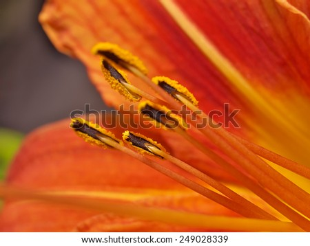 Red lily flower macro close up - stock photo