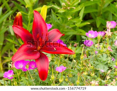 Red Lily in Garden - stock photo