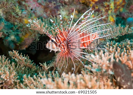 Red lionfish - stock photo