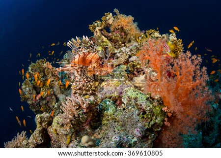 Red Lionfish hunting on the coral reef - stock photo