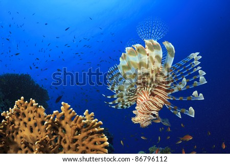 Red Lionfish in the Sea