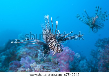 Red Lionfish of the family Scorpaenidae hovering over soft coral patch in the Andaman Sea, Thailand. - stock photo