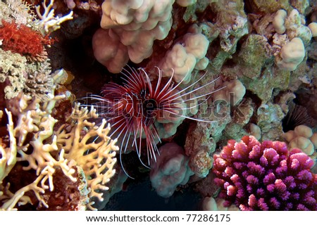 Red lionfish (Pterois russelli), Red Sea, Egypt. - stock photo