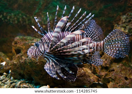 Red lionfish (Pterois volitans) aquarium fish, a venomous coral reef fish - stock photo