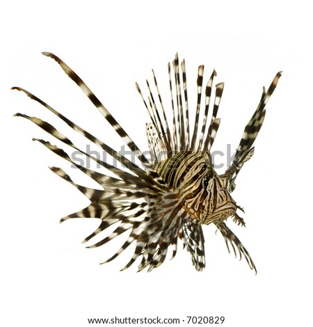 Red lionfish - Pterois volitans in front of a white background - stock photo