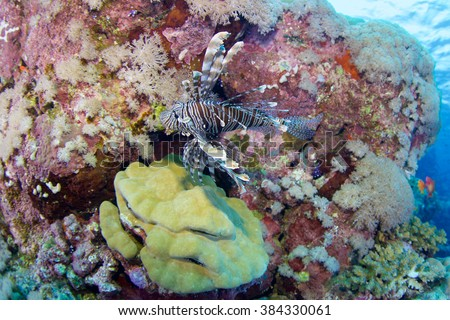 Red lionfish-Pterois volitans, Red sea, Sudan.