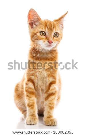 Red little cat on the isolated background, studio shot