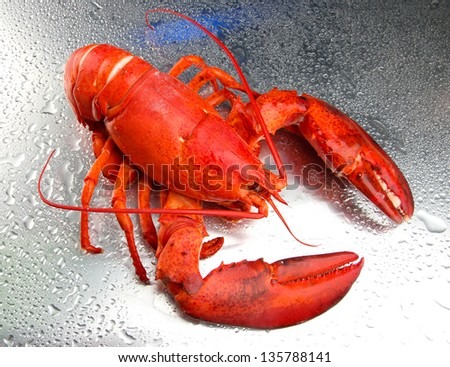 Red lobster on grey background - stock photo