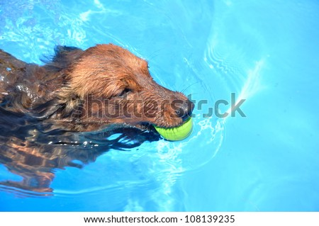 Red Long-Haired Dachshund Swimming in a Pool - stock photo