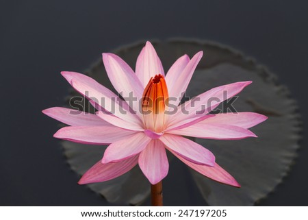 Red lotus flower - stock photo