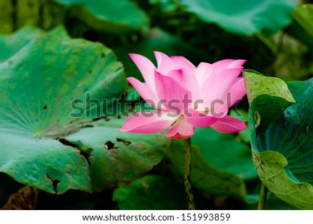 Red lotus in the garden of the university - stock photo
