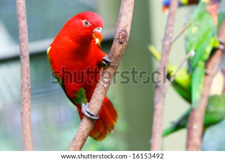 red lovebird - stock photo
