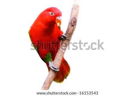 red lovebird over white - stock photo