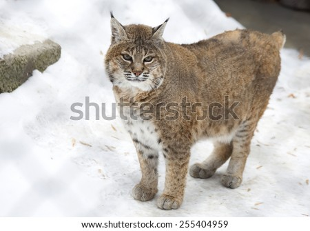 Red lynx Bobcat or red lynx is a species of lynx from North America. Outwardly this is a typical lynx, but the smaller size in half the usual trot, not so long-legged. - stock photo