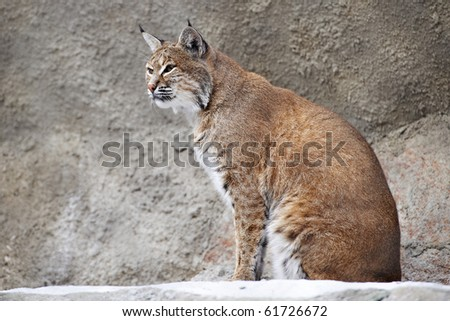 Red Lynx on a rock in zoo - stock photo