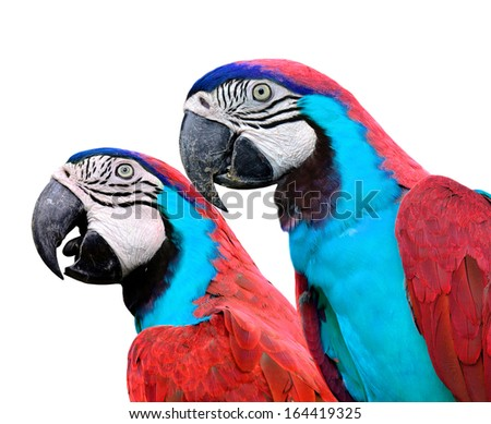 Red Macaw birds isolated on white background