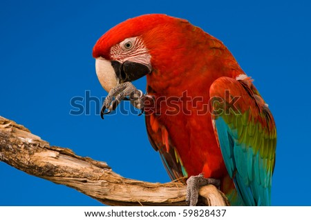 Red Macaw head close-up isolated over blue sky - stock photo