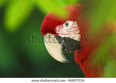 Red macaw hiding in the bush.