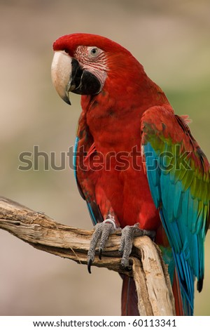 Red Macaw isolated from background - stock photo