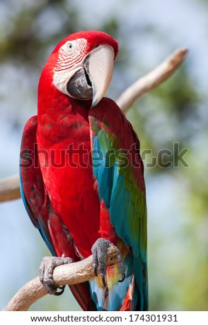 Red Macaw perched on a tree branch. - stock photo