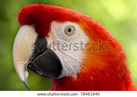 Red macaw portrait - stock photo