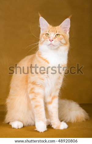 Red Maine Coon cat on bronze background