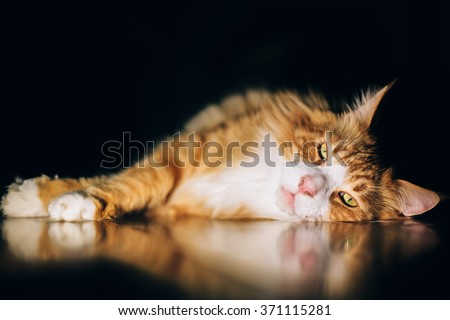 Red maine-coon cat over black background