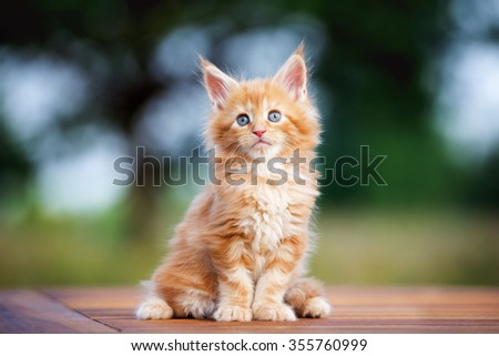 red maine coon kitten sitting outdoors - stock photo