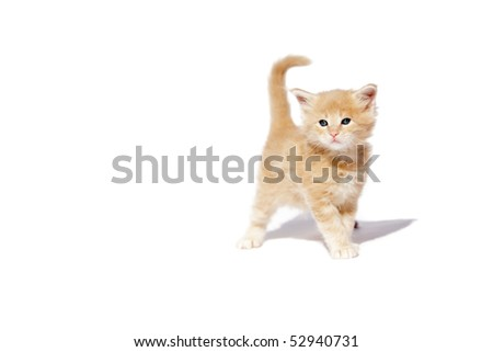 Red maine coon kitten 5 weeks old walks over white background - stock photo