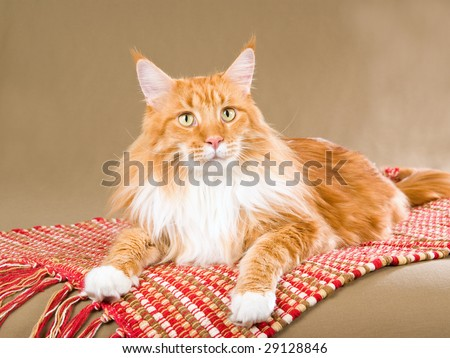 Red Maine Coon lying down on woven red carpet - stock photo