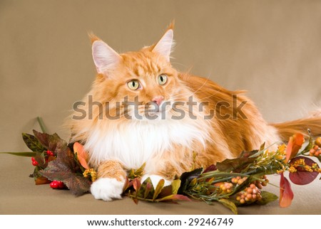 Red Maine Coon on khaki background with dried Autumn Fall leaves and berries - stock photo