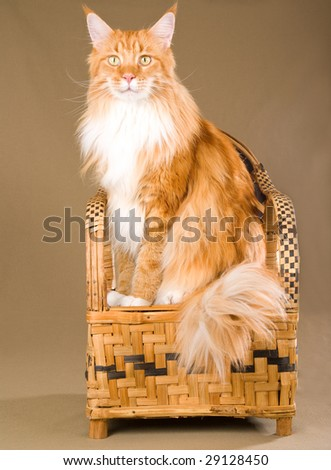 Red Maine Coon sitting on miniature woven bamboo chair - stock photo