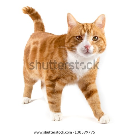 red male cat, walking towards camera, isolated in white - stock photo