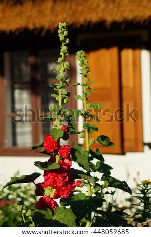 Red mallow flower in garden - Alcea - stock photo