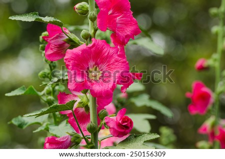 red mallow flowers blooming in summer season at the garden background, Mu Gung Hwa (mugunghwa) or Rose of Sharon. - stock photo