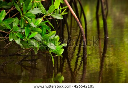 Red mangrove tree and its roots dip into calm brackish water in the Florida Everglades - stock photo