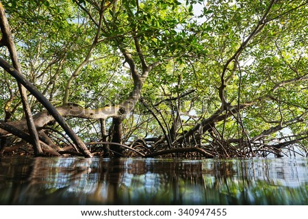 Red mangrove trees in the water viewed from the sea surface, Panama, Central America - stock photo