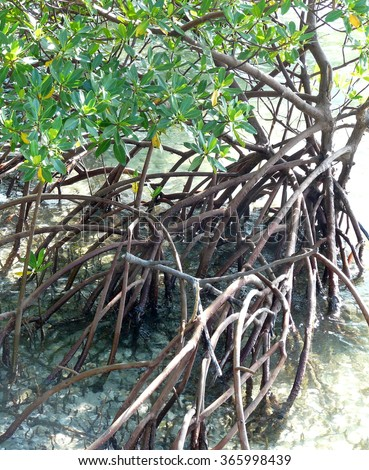 "Red mangrove ""walking"" tree with its distinctive above-ground roots that provide air to the roots below. At Blowing Rocks Nature Preserve, Florida. - stock photo"
