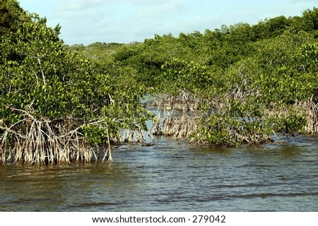 Red mangroves on the Florida Everglades. - stock photo