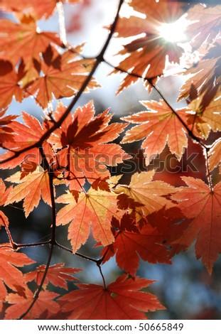 Red maple, autumn - stock photo