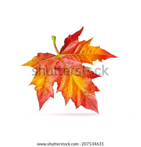 Red maple autumn leaf isolated white background. - stock photo