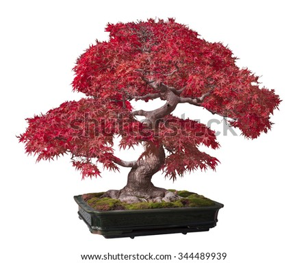 Red maple bonsai tree isolated on a white background. - stock photo