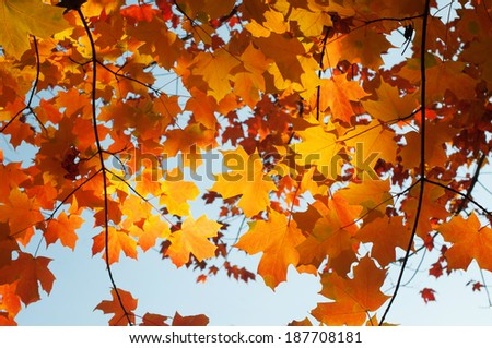 red maple leaf branches on red blurry background with backlit sunlight - stock photo
